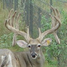 Big Rack Ranch Whitetail Genetics - Dugger