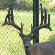 Big Rack Ranch Whitetail Genetics - Big Bob