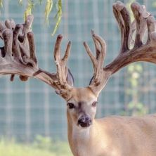 Big Rack Ranch Whitetail Genetics - Triple Crown
