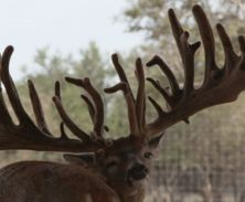 Big Rack Ranch Whitetail Genetics - Gladiator XL