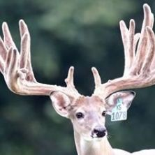 Big Rack Ranch Whitetail Genetics - Double Down