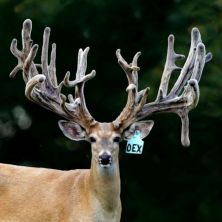 Big Rack Ranch Whitetail Genetics - Overnight Express