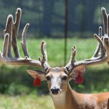 Big Rack Ranch Whitetail Genetics - Off Limit