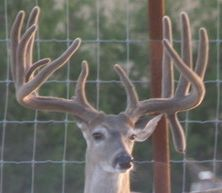 Big Rack Ranch Whitetail Genetics - Bambi Daggerstar