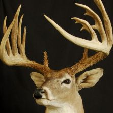 Big Rack Ranch Whitetail Genetics - BRR Bones Jr.