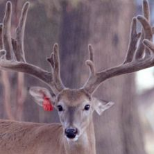 Big Rack Ranch Whitetail Genetics - Samhandle