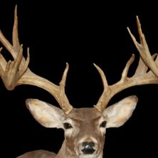 Big Rack Ranch Whitetail Genetics - Bambi Cactus