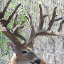 Big Rack Ranch Whitetail Genetics - Buddy II Extreme