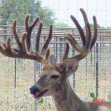 Big Rack Ranch Whitetail Genetics - Paco II