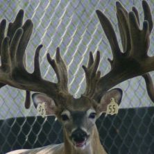 Big Rack Ranch Whitetail Genetics - Bambi Rambo I