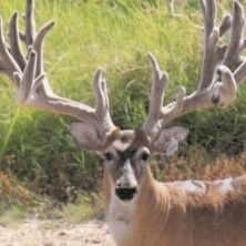 Big Rack Ranch Whitetail Genetics - Bambi 20-28