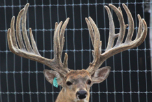 Big Rack Ranch Whitetail Breeder Bucks